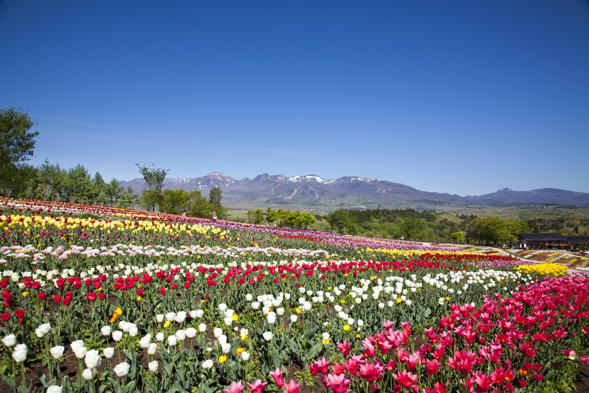 「春」からの住み込みリゾートバイトならどこに行きたい?【人気ランキング】
